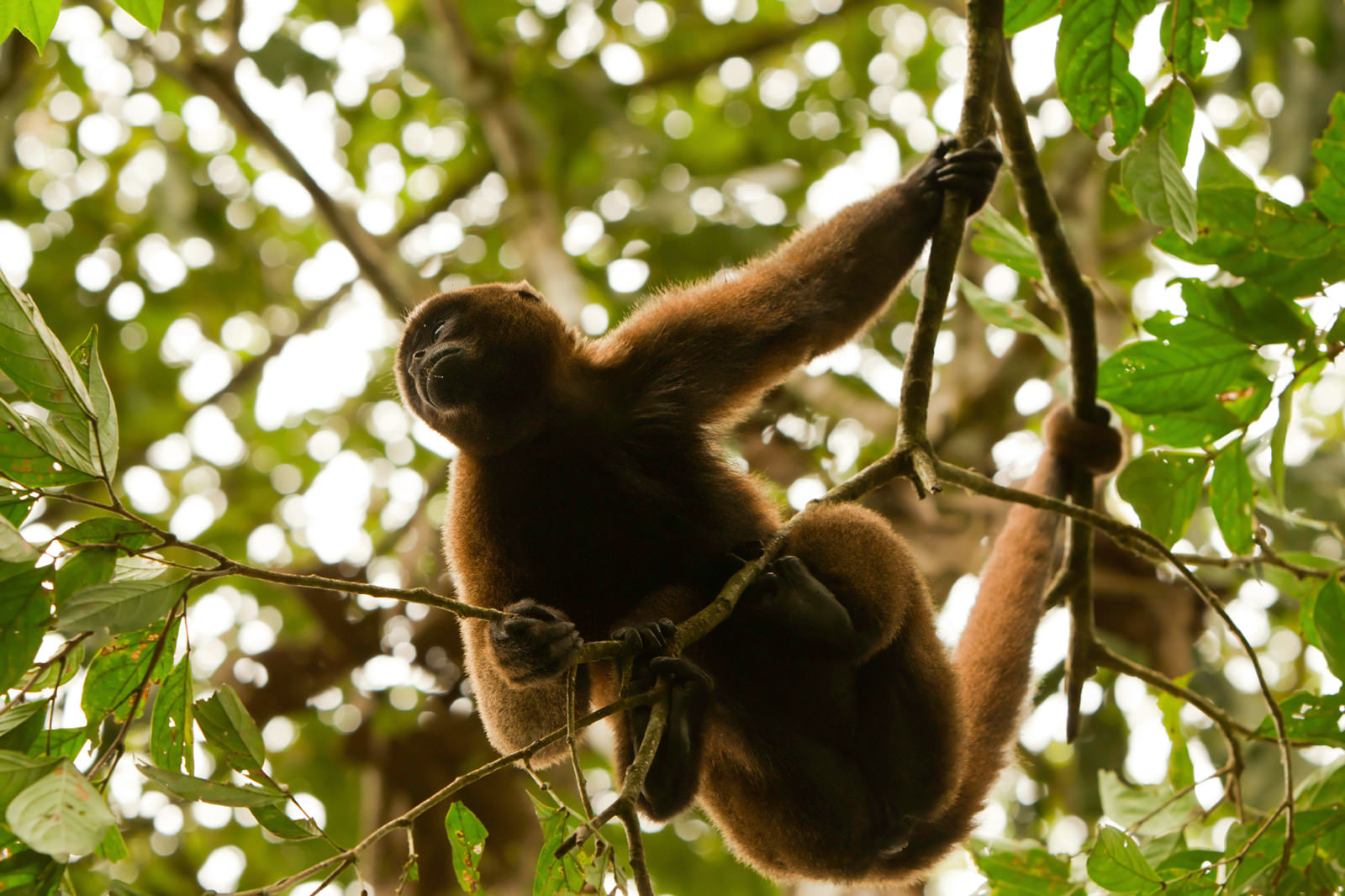 Howler monkey photo taken on Amazon kayaking trip