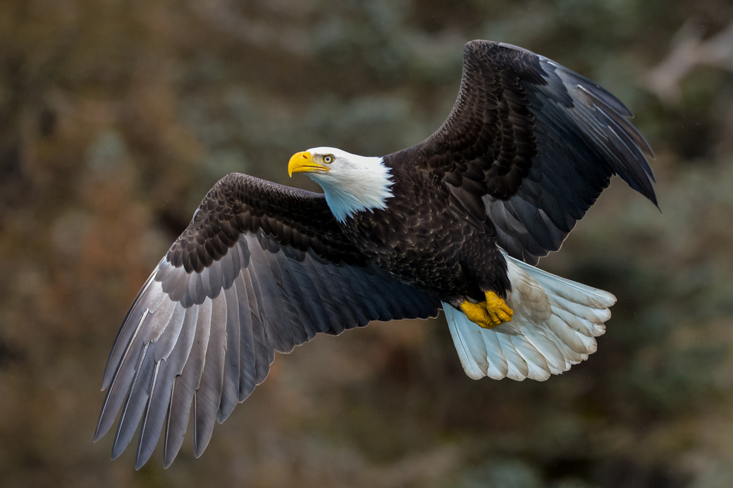 Haida Gwaii Bald Eagle in Flight