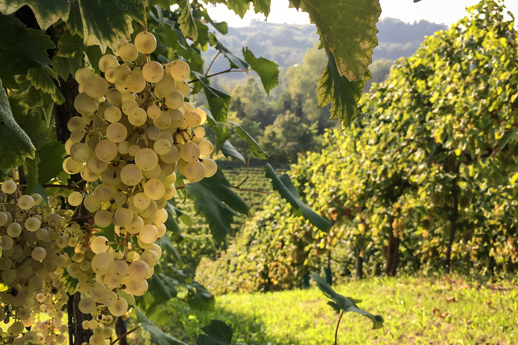 Prosecco Grapes at Harvest Time