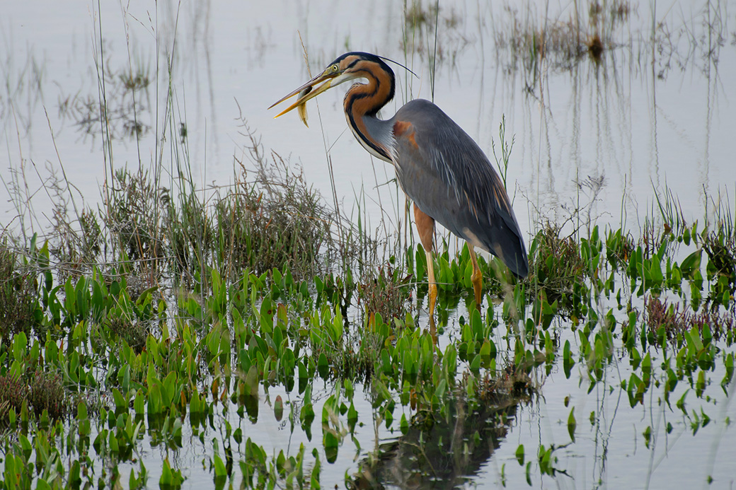 Purple heron (Ardea purpurea) with a fish in the Venice Laguna